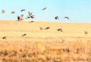 North Dakota wild pheasant hunting!